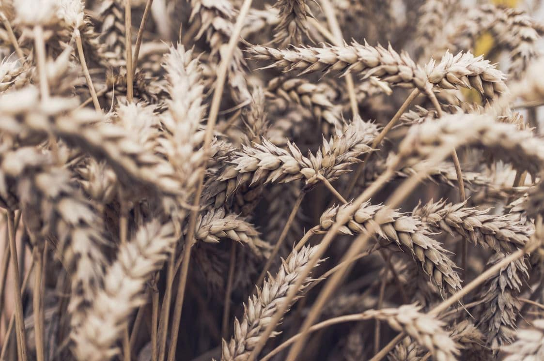 close up of a ripening field of wheat
