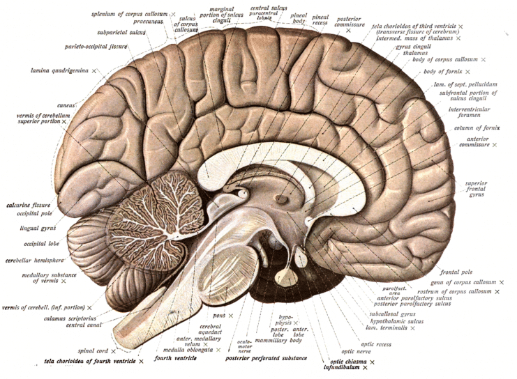 Diagram of a Cross-Section of the Human Brain
