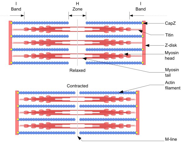 Diagram of the Structure of Actin and Myosin Proteins in a Muscle Fiber