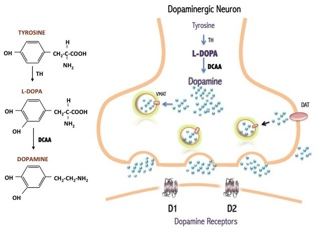 Diagram of Dopamine Production and Signaling