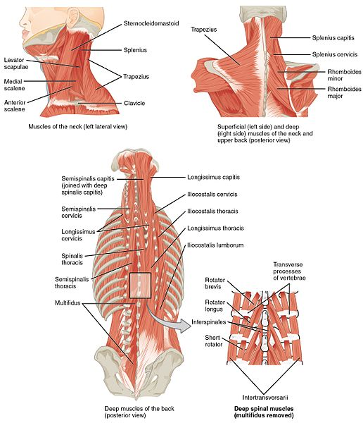 Anatomical diagram of the spine and spinal muscles